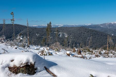 Winter pine tree forest destroyed, affected by a powerful snowstorm. Natural disaster