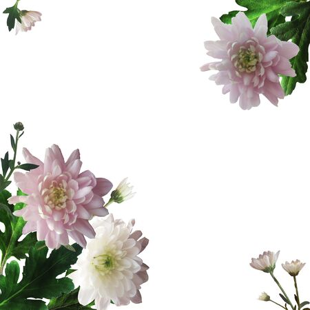 Pink and white chrysanthemums on a white background. Card with a floral botanical composition with realistic flowers and green leaves in the corners. Banque d'images