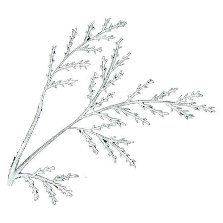 Black and White Hand-Drawn Isolated Flower Twig. Monochrome Botanical Plant Illustration in Sketch Style. Thin-leaved Marigolds for Print, Tattoo, Design, Holiday, Wedding and Birthday Card.