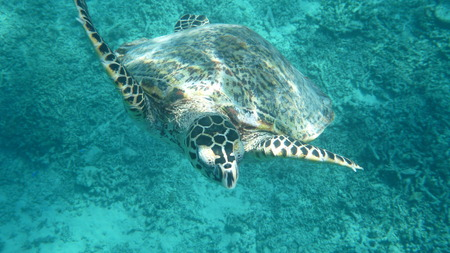 swimming sea turle underwater photo