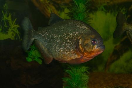 pygocentrus: Pygocentrus Nattereri floats in the aquarium Stock Photo