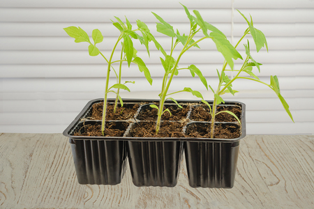 dirt: Box with sprouts of small seedlings tomato on the window, closed with jalousie. Seedling Stock Photo