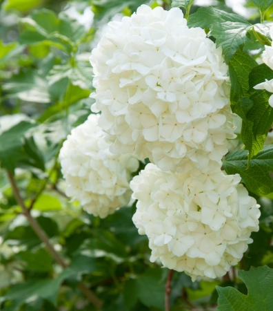 guelder: A Guelder rose (Viburnum opulus), blooming in a garden. Stock Photo