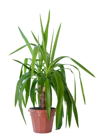 Yucca, house plant in a pot photo