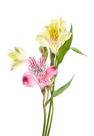 alstromeria: Alstroemeria flowers isolated on white background