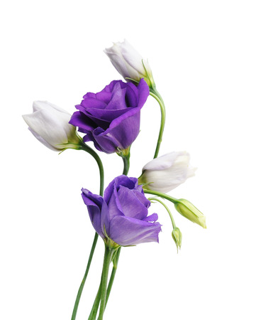 Light purple flowers eustoma isolated on white. Archivio Fotografico