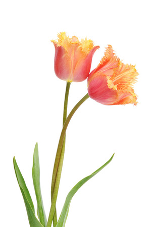 tulipa: Colored Tulip Flowers Isolated on White Background. Macro. National Flower of The Netherlands, Turkey and Hungary Stock Photo
