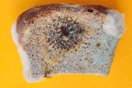 bread mold: Moldy bread. Old food with toxic mold or mould with plenty colored spores.
