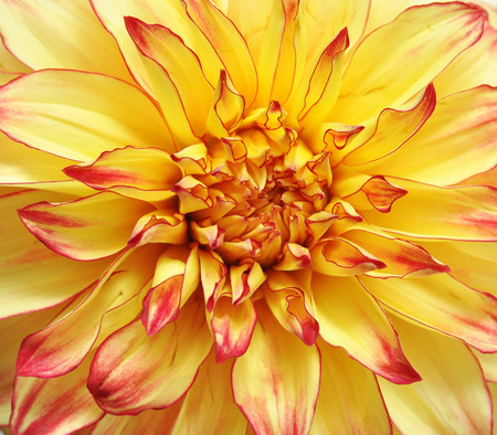 dignity: Colored Dahlia Flowers. Macro. Symbol of Elegance, Dignity and Good Taste Stock Photo