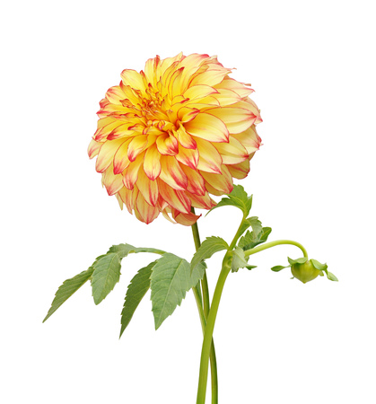 dignity: Yellow  red and colored Dahlia flower isolated on white background. Macro. Symbol of Elegance, Dignity and Good Taste.