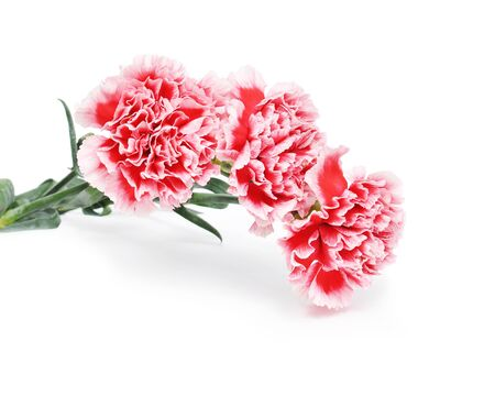 carnations: Carnations isolated on white background