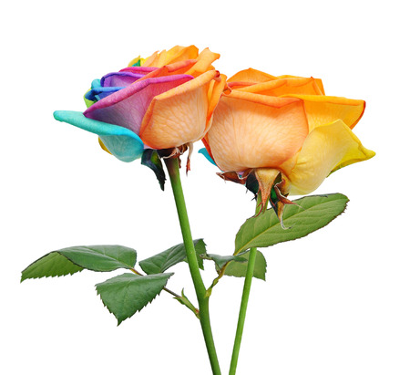 multi colors: Macro of rainbow rose flower and multi colors petals. Isolated on white background. Stock Photo