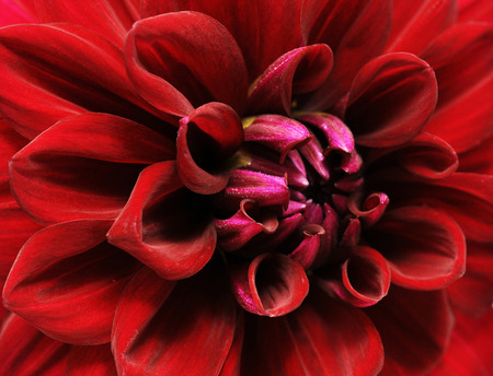 Close up of a beautiful petals of red Dahlia Flower (Dahlia pinnata). Macro with extremely shallow dof.