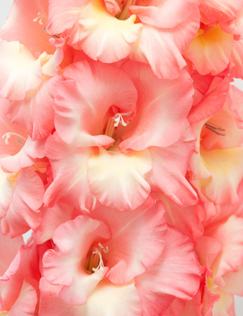 Macro shot of Gladiolus flowers. Macro with extremely shallow dof.