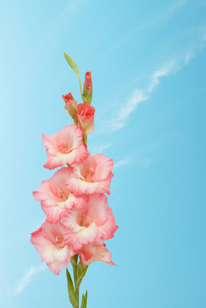 Gladiolus flower against the blue sky. Stock Photo