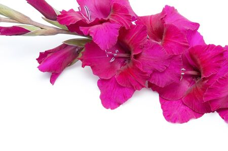 Beautiful gladiolus flowers isolated on white background. Macro with extremely shallow dof. Background with space for your text.