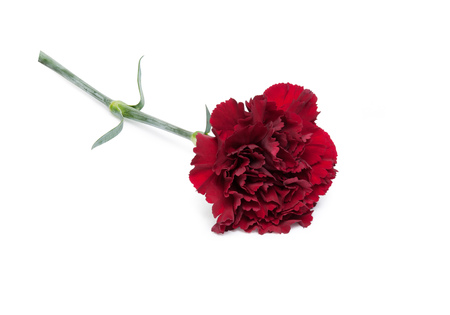 Beautiful maroon carnation flower isolated on white background. 스톡 콘텐츠