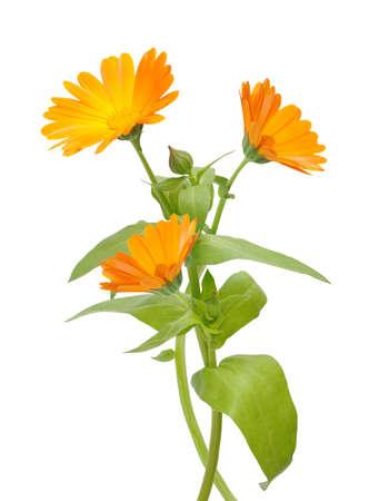 Flower of calendula isolated on a white background.