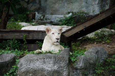 terrestrial mammal: White lion