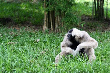 gibbon: Lonely Gibbon