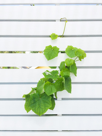 White Wood with Green Climber photo