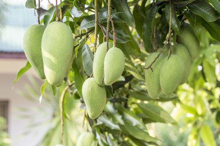 organic fruit: Groups of Hanging Green Mangoes