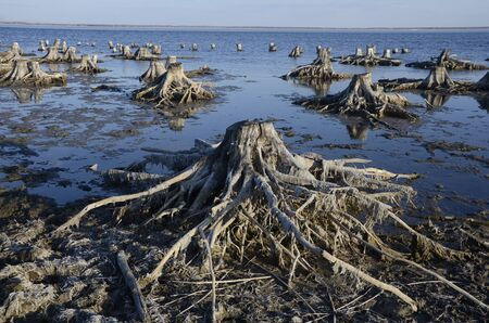 Dried roots on the lake.