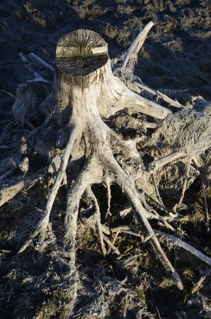 The root of a dried tree, similar to a man. Stockfoto