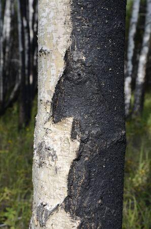 Trunks of a birch forest after a fire.
