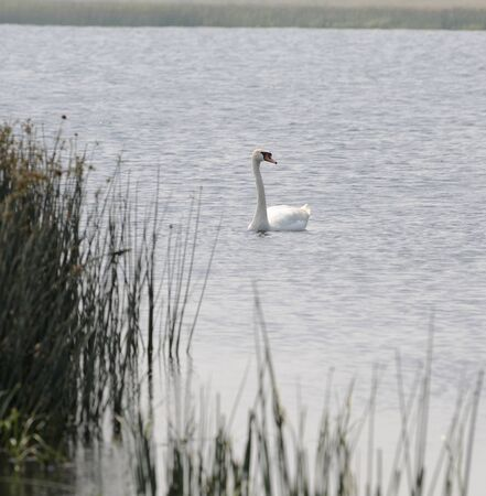 A lone swan floats on a lake in the Urals, Russia.