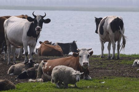 A herd resting at noon on the lake.
