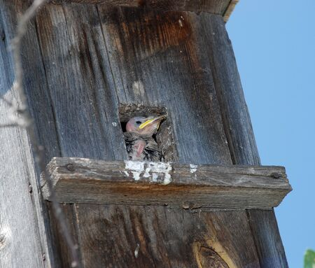Starling chick awaiting the arrival of parents in the birdhouse.