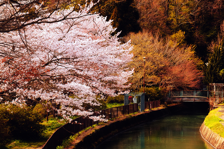 cherry blossom in japan: Cherry Blossoms in Kyoto, Japan.