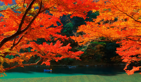 primary colours: Autumnal orange and red colours of Japanese maple leaves near Katsura river in Arashiyama, Kyoto, Japan.