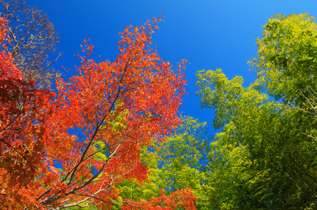 primary colours: Red fall foliage against the clear blue sky in Arashiyama, Japan. Stock Photo