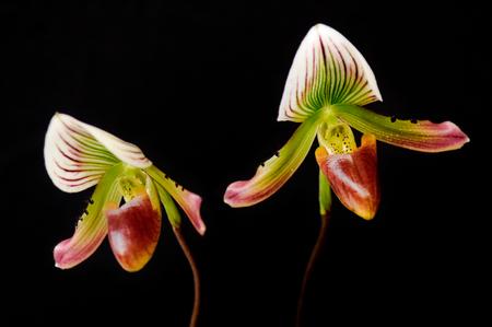 lady's slipper: Close up of ladys slipper orchid Paphiopedilum Callosum.