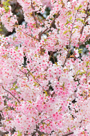 cherry blossom in japan: Cherry Blossoms with clear blue sky at Ueno Park, Tokyo, Japan.