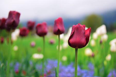 interlaken: Tulips and colorful spring flowers in Interlaken, Switzerland. Stock Photo