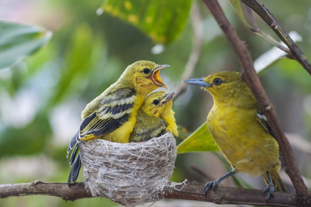 Close up parent feed up the baby bird. Common Iora - Aegithina tiphia 版權商用圖片