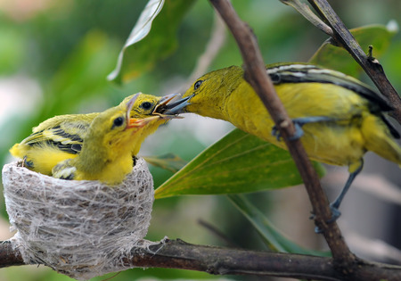 feed up: Close up parent feed up the baby bird. Common Iora - Aegithina tiphia Stock Photo