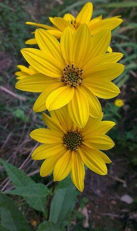helianthus: Swamp sunflower Helianthus angustifolius