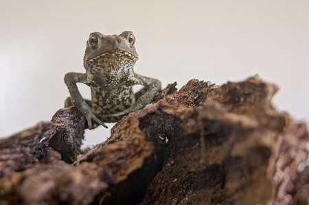 blooded: Frog kurbaga rana zaba beka frosch grenouille kikker ra