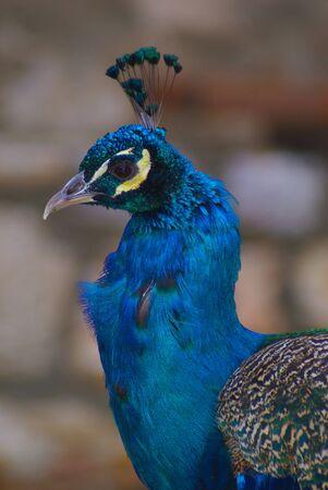 pavo: Peacock paon pavo real pavone pfau pauw pava  paw tavuskusu
