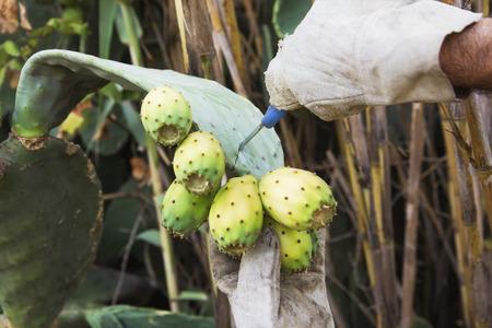 off cuts: cuts off a Prickly Pear