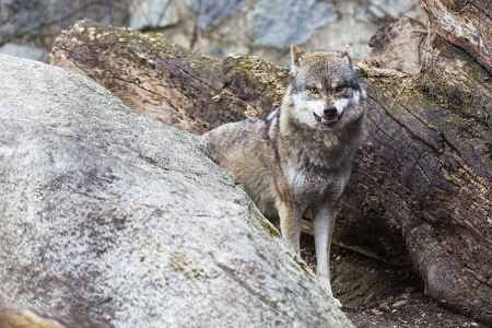 snarling: Wolf