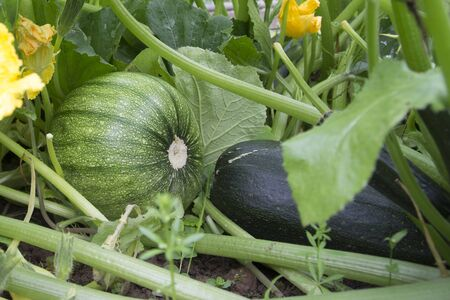 Zucchini grow in the garden, Green courgette growing on bush. Harvesting in the fall. Natural product. Big and tasty crop. 写真素材