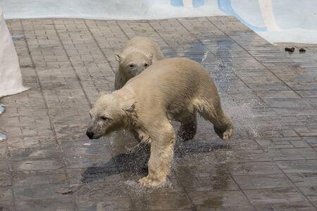 Polar bear at the zoo. Novosibirsk Zoological Park.