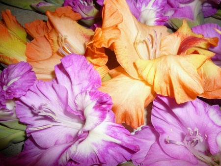 gladiolus: Gorgeous handpicked gladiolus from the garden Stock Photo