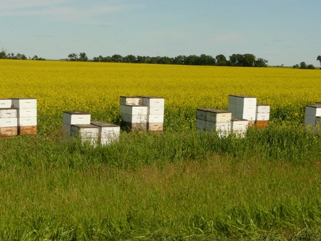 Honey bee houses along a conola field