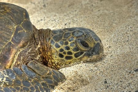 Turtle laying on the sand. Close up of one lazy green hawaiian sea  turtle sunbathing on the beach.HDR.